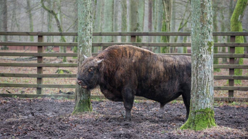Żubronie mogą ważyć do 1200kg