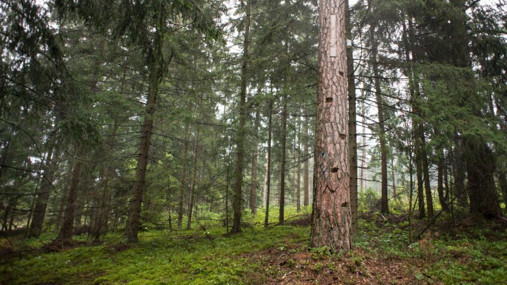 projekt las w nas